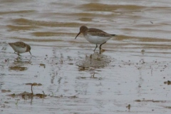 MG_4114-Dunlin-and-Western-Sandpiper