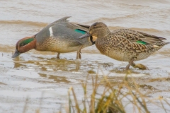 MG_4163-Green-Winged-Teal-male-and-female