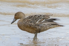 MG_4189-Northern-Pintail-female
