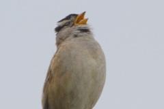 MG_4197-White-Crowned-Sparrow