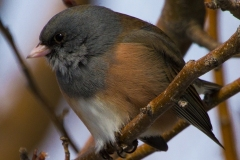 MG_4323-Pink-sidded-Junco