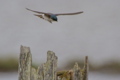 MG_4341-Tree-Swallow