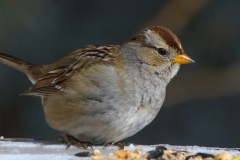 MG_4348-Juvenile-White-Crowned-Sparrow