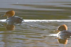 MG_4587-Hooded-Merganser-female
