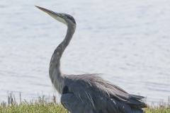 MG_4651-Great-Blue-Heron