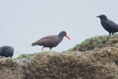 MG_4711-Black-Oystercatcher-with-American-Crows