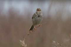 MG_4787-Savannah-Sparrow