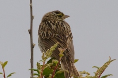 MG_4818-Savannah-Sparrow