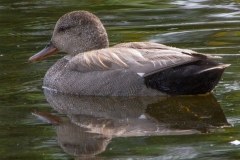 MG_4933-Gadwall-male