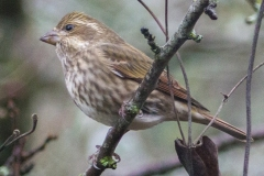 MG_4943-2-Purple-Finch-female
