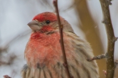 MG_5029-House-Finch-male
