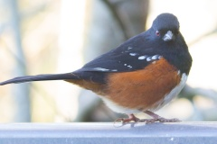 MG_5069-Spotted-Towhee