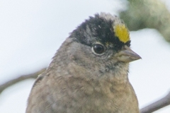 MG_5143-Gold-Crowned-Sparrow