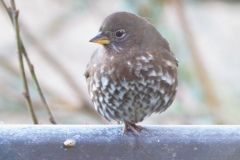 MG_5245-Sooty-Fox-Sparrow
