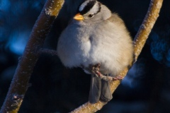 MG_5273-White-Crowned-Sparrow
