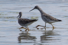 MG_5313-Greater-Yellowlegs