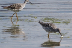 MG_5344-Greater-Yellowlegs