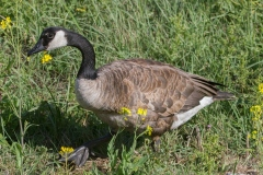 MG_5427-Canada-Goose