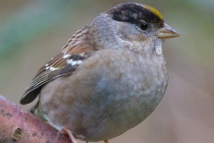 MG_5438-Golden-Crowned-Sparrow