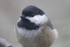 MG_5478-BlackCapped-Chickadee