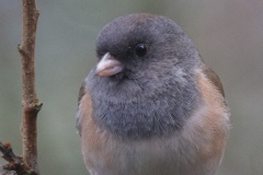 MG_5503-Oregon-Junco