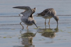 MG_5520-Greater-Yellowlegs