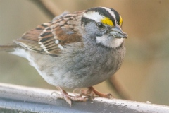 MG_5683-White-Throated-Sparrow