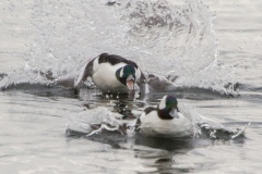 MG_5759-Buffleheads-male