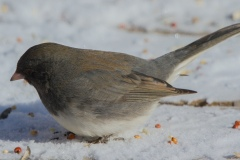 MG_5835-Slate-Colored-Junco