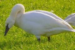 MG_5941-Trumpeter-Swan