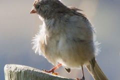 MG_6041-Song-Sparrow-juvenile