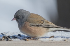 MG_6105-Pink-Sidded-Junco