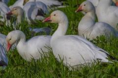 MG_6112-Snow-Geese