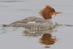 MG_6192-2-Common-Merganser-female