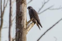 MG_6234-Peregrine-Falcon