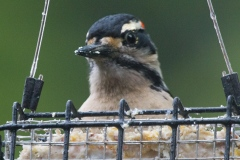 MG_6293-Hairy-Woodpecker-male