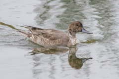 MG_6331-Northern-Pintail