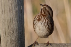MG_6336-Song-Sparrow