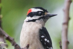 MG_6352-Downy-Woodpecker-male