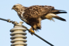 MG_6383.-Rough-Legged-Hawk