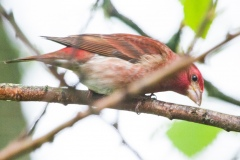 MG_6413-Purple-Finch