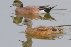 MG_6653-American-Wigeon-male-and-female
