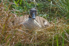 MG_6672-Canada-Goose-female