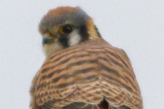 MG_6727-Kestrel