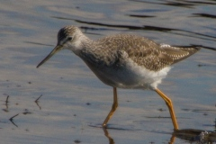 MG_6802-Greater-Yellowlegs