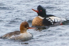 MG_6820-Red-Breasted-Mergansers-pair