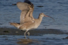 MG_7064-Whimbrel