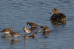 MG_7090-Least-Sandpipers-with-American-Wigeon-female