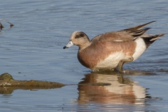 MG_7332-American-Wigeon-female