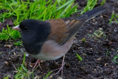 MG_7369-Oregon-Junco